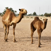camel_and_young